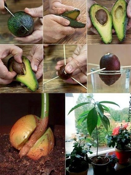 Grow your avocado tree