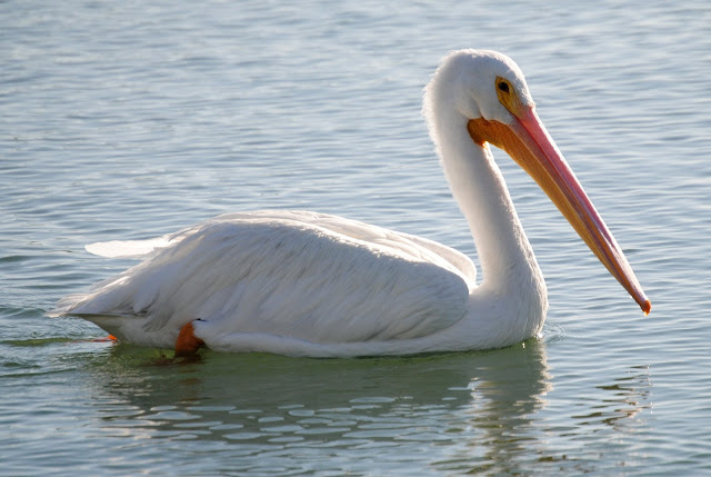 American White Pelicans return to Placida Harbor, Florida