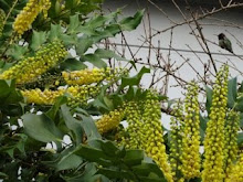Hummingbird in Mahonia 'Arthur Menzies'