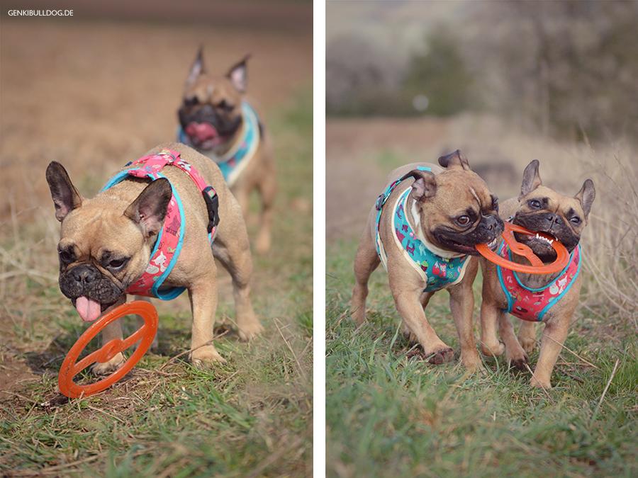 Bully Hundeblog Französische Bulldogge