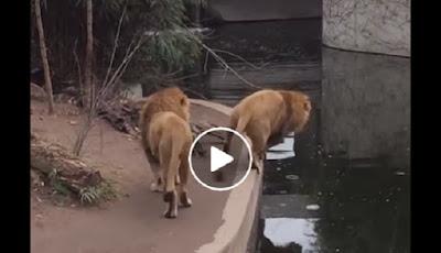 Singa jantan besar oleng dipinggir kolam
