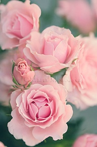 Roses Living from Glory To Glory Blog