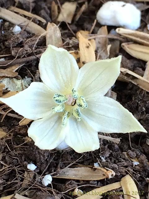 Bunga Cili