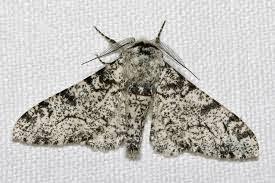 Biston betularia morpha typica