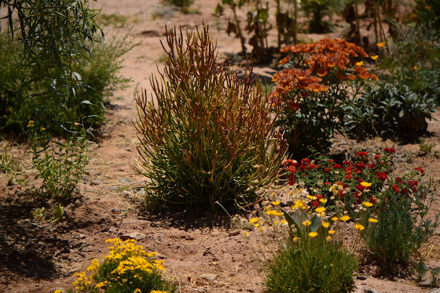 small sunny garden, garden bloggers bloom day, amy myers, desert garden