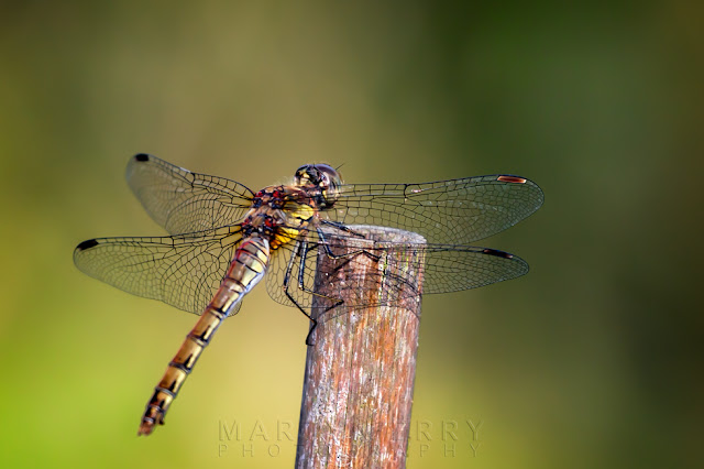 Detailed macro image of a female common darter dragonfly at Ouse Fen