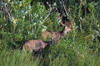 Rehe - deer