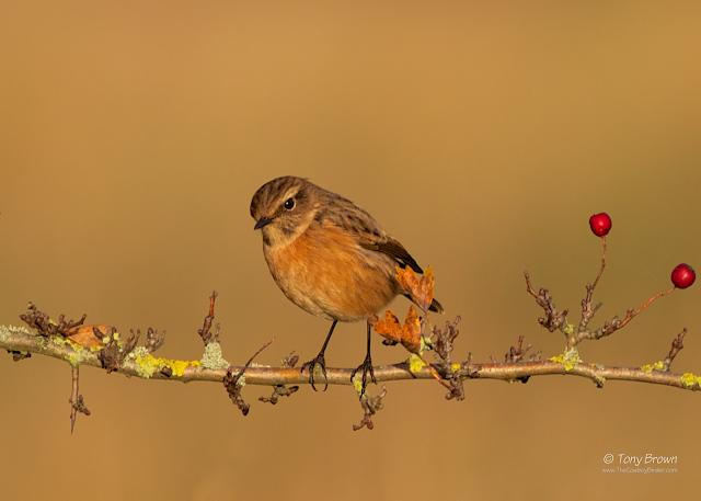 1st-winter, male, Wanstead, Wintering