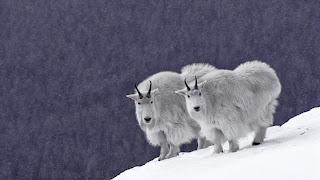 Domba gunung berpasangan