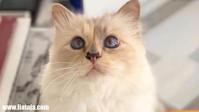 http://www.liataja.com/2019/03/foto-kucing-choupette-calon-penerima.html