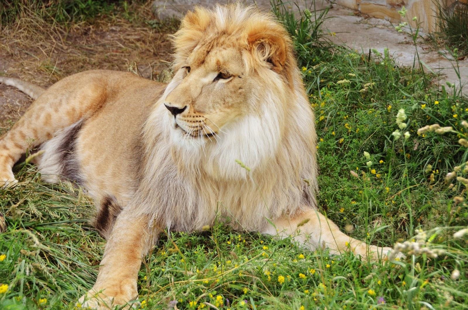 фото шикарный лев