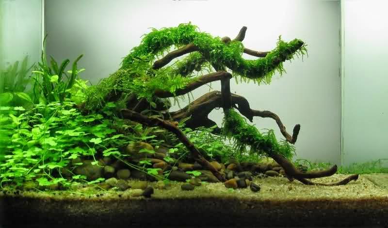 Physa acuta reproduccion asexual de las plantas