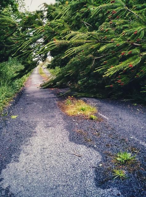 pine tree, fallen across a road