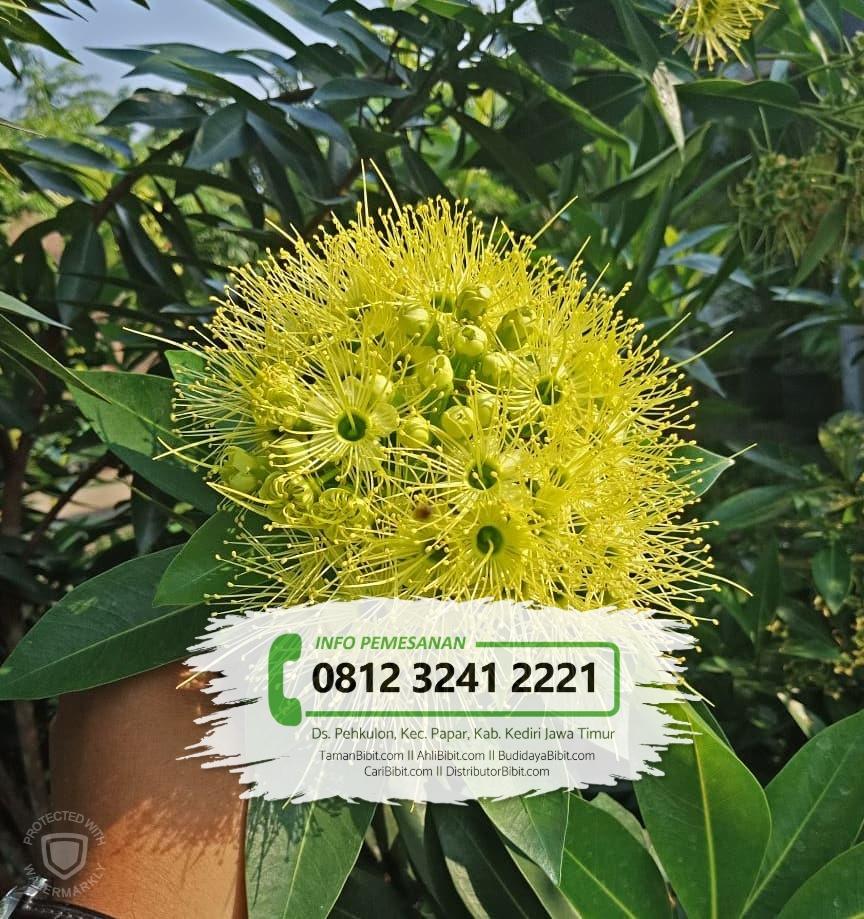 Jual Bibit Bunga Santos Lemon