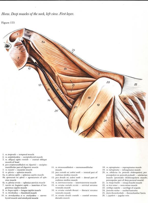 anatomia-cabeca-pescoco-neck-head-horse-cavalo-equino-musculatura-musculo-muscle