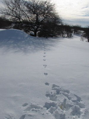 rabbit tracks