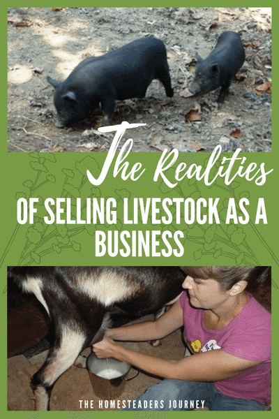 Selling Livestock as a business on your homestead. What worked for us and what didn't! #farmbusiness #homesteader #sellinglivestock
