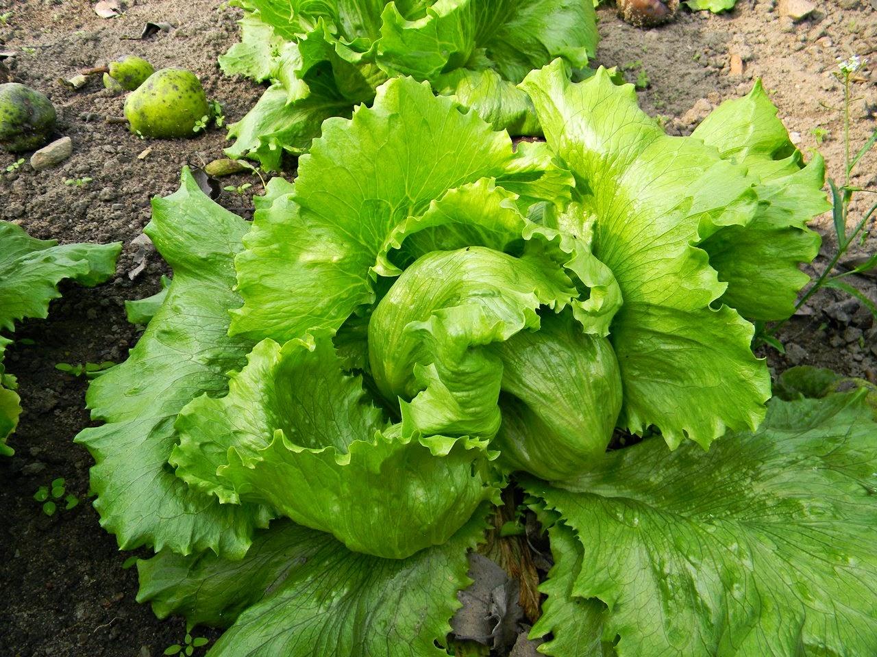 uprawy w ogródku