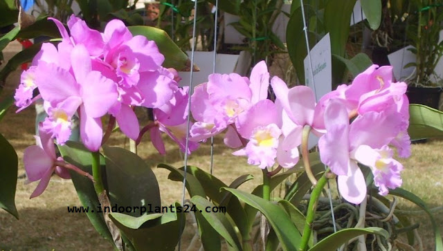 Cattleya spp Orchidaceae CATTLEYA