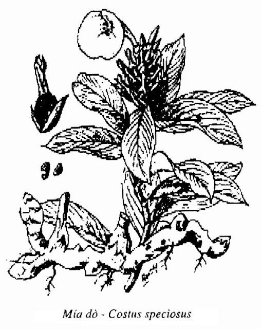 Hình vẽ Mía Dò - Costus speciosus - Nguyên liệu làm thuốc Chữa bệnh Mắt Tai Răng Họng
