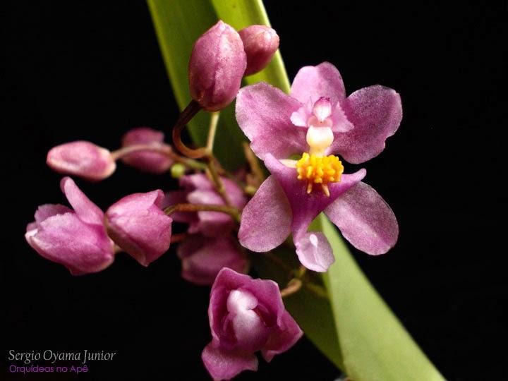 Micro-orquídea Oncidium sotoanum ou ornithorhynchum
