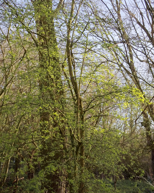 Veil of hawthorn leaves