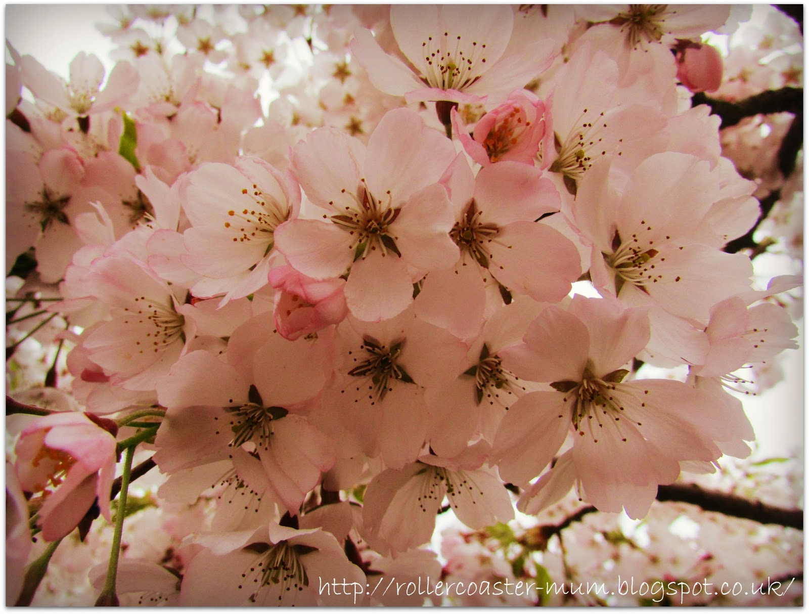 beautiful pink cherry blossom