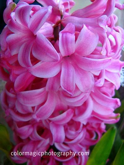 Pink hyacinth flower-closeup