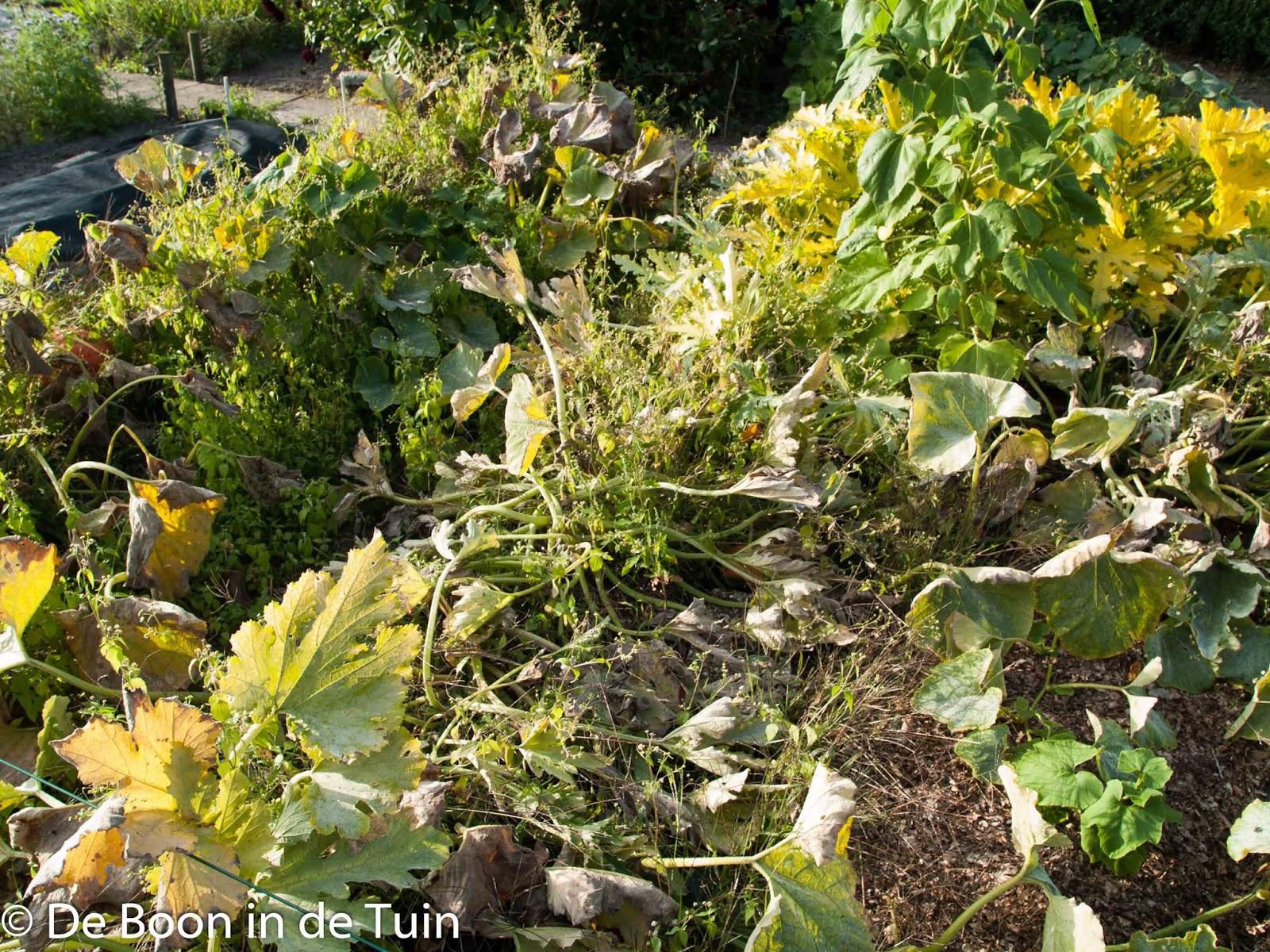 pompoenen courgette herfst augustus september moestuin volkstuin