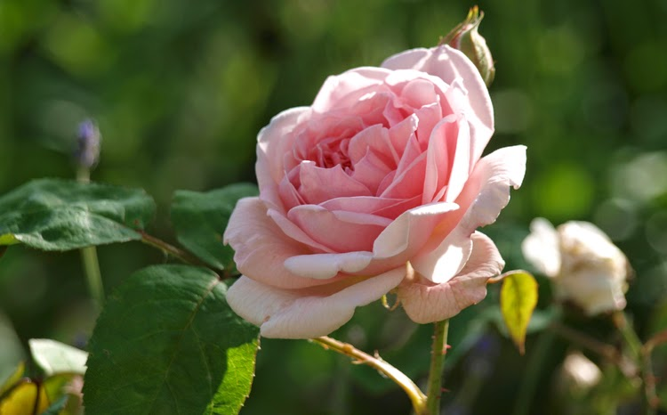 """En smuk Engelsk rose er den lyserøde Austin-rose """"Eglantyne"""""""