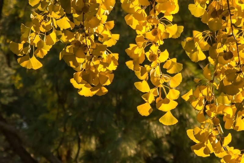 hojas amarillas otoño arbol ginkgo (Ginkgo biloba)