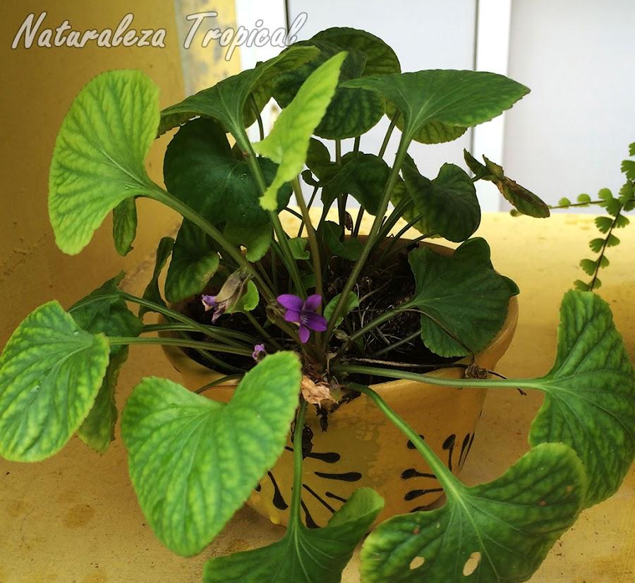 Planta del género Viola