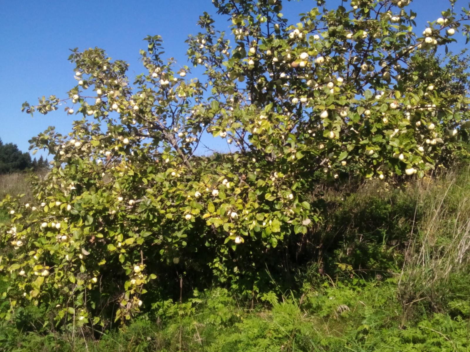 яблоня возле озера Гиньково