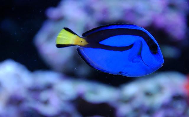 Dunia Ikan Hias - Tang Biru