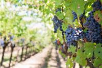 purple-grapes-vineyard-napa-valley-
