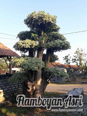 Tukang Taman Surabaya Jual Bonsai Randu Murah