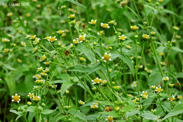 kwiat żółtlica