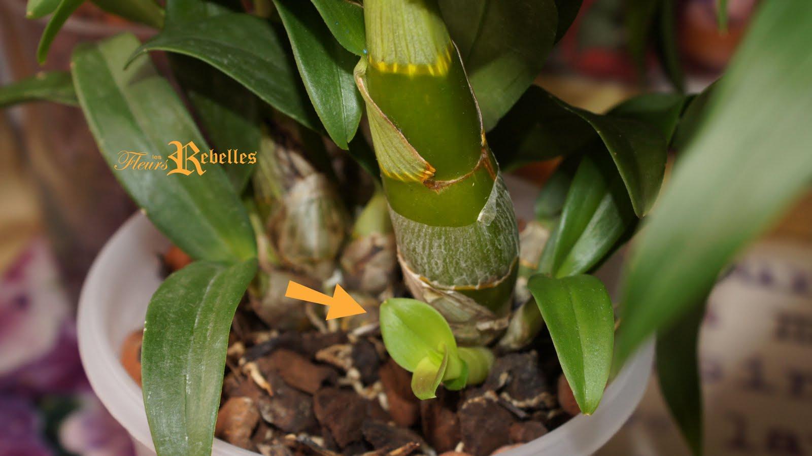 Les fleurs rebelles blog lifestyle diy mes orchid es bourgeonnent 3 - Marc de cafe orchidee ...