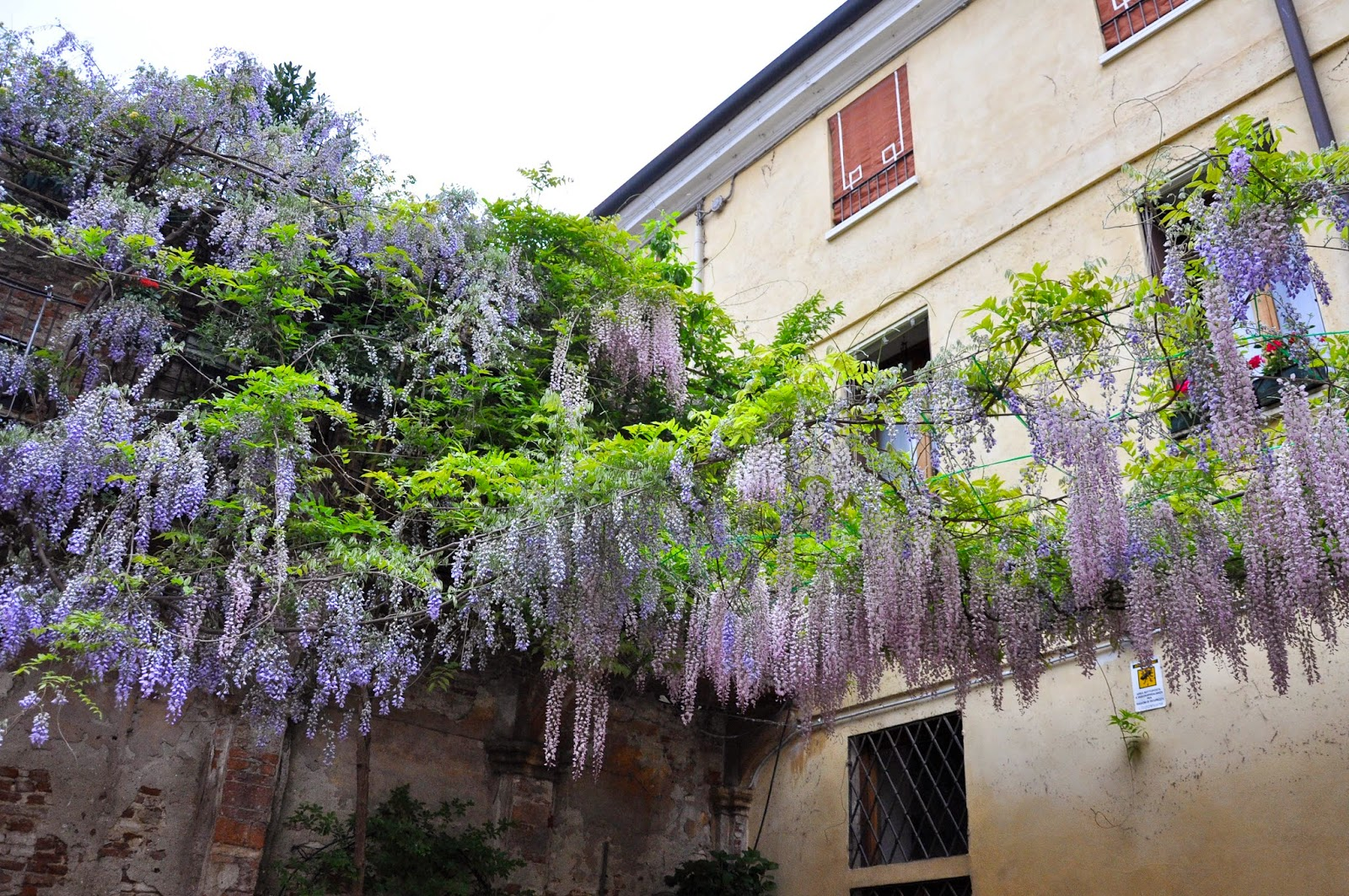 Under the flowering wisteria, Vicenza, Italy