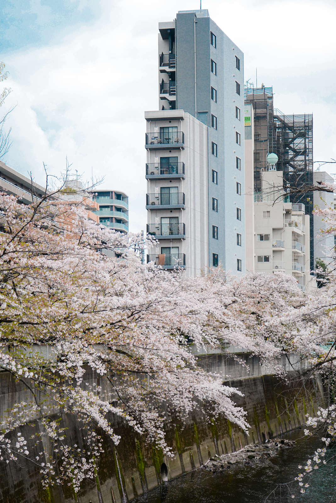Cherry blossom viewing in local neighborhood, Tokyo cherry blossom hidden spot, Tokyo's Not So Secret Cherry Blossoms Spots That You Might Not Know Of - Style and Travel Blogger Van Le (FOREVERVANNY.com)