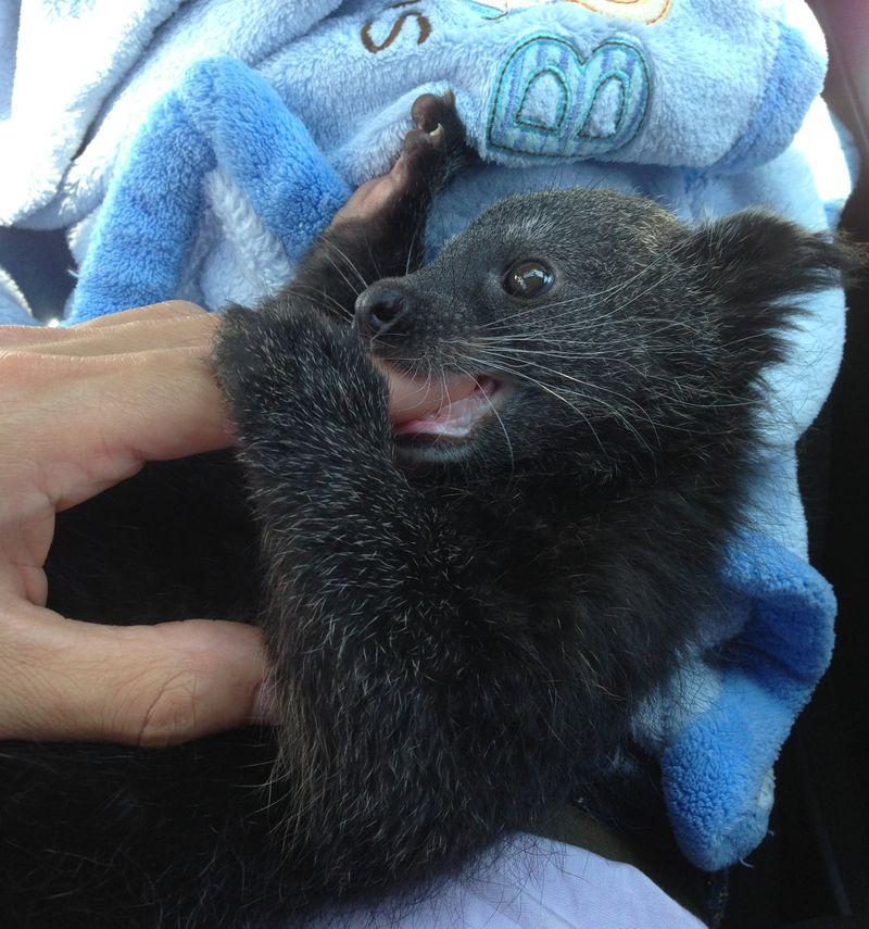 Baby Animals: Baby Binturong 2