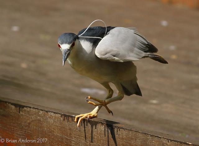 Night Heron Dingle Park