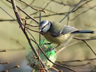oiseaux du jardin petite mésange bleue