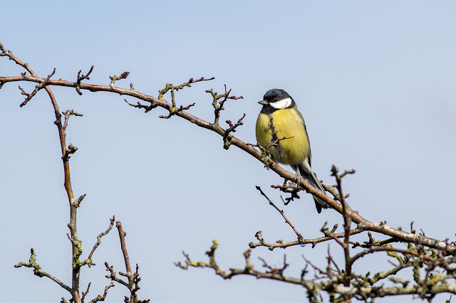 Great Tit enjoying the Spring sunshine