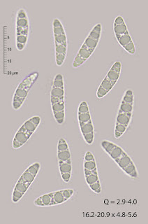 Microglossum nudipes