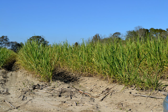 Сахарный тростник в Луизиане
