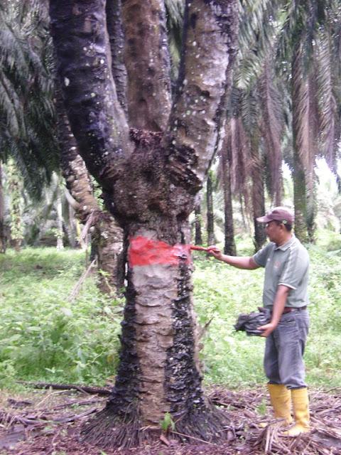 Menguak Mistis Penungu Sawit Bercabang Tiga Di Tanjung Keliling- Bag 1   Demit Kawasan Sempadan Tau Bersyukur