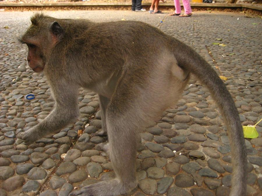 발리 원숭이