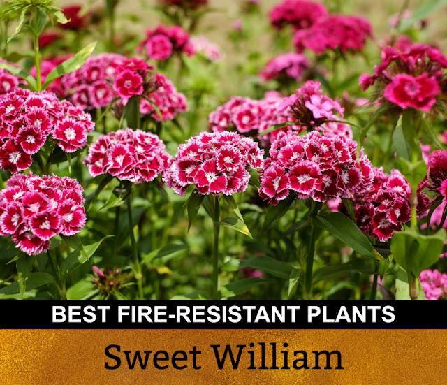 Best Fire Resistant Plants Sweet William