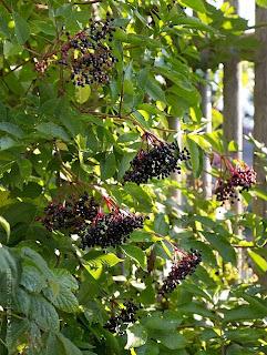 Holunder, Beeren, Holunderbeeren, Heilplfanzen im Garten